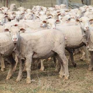 GUYRA, NSW 2365 - Sold Sheep - Ray White Rural and Livestock